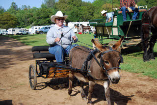 Lady driving a miniature donkey